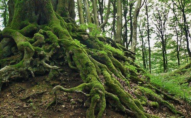 Große grüne Wurzeln eines mächtigen Baumes